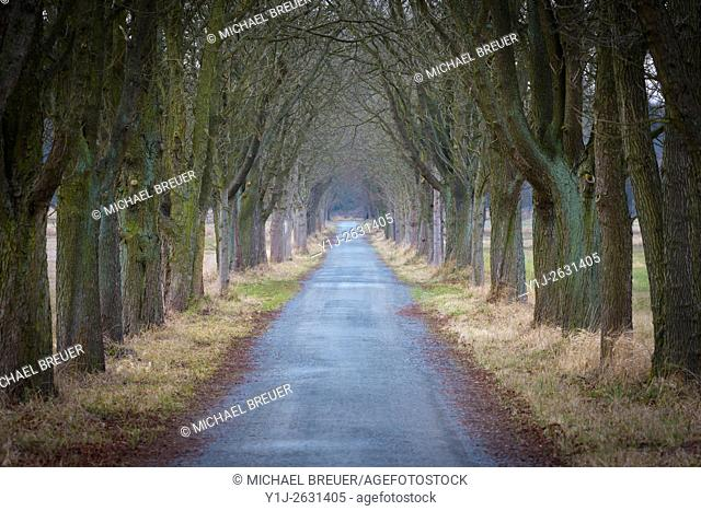 Chestnut-lined avenue, Hesse, Germany, Europe