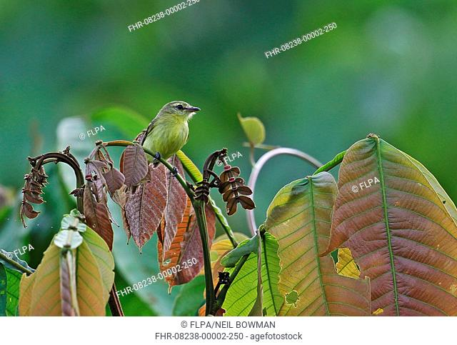 Yellow Tyrannulet (Capsiempis flaveola semiflava) adult, perched on leaf stem in treetop, Rio Indio, Panama, October