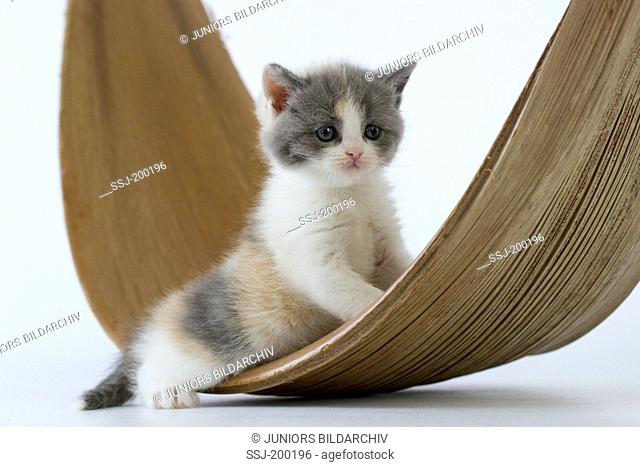 British Shorthair. Kitten on a decorative dish. Studio picture