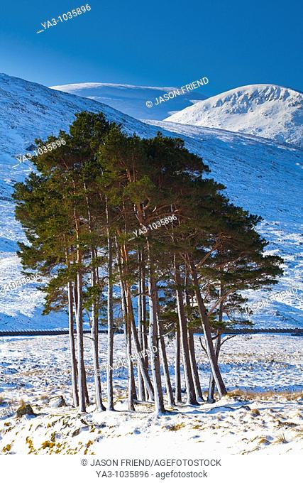 Scotland, Scottish Highlands, Dirrie More  Pocket of Scots Pine amidst the open landscape of the Dirrie More near Braemore