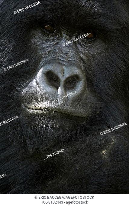 Mountain gorilla (Gorilla beringei beringei) silverback male, portrait, member of the Nyakagezi group, Mgahinga National Park, Uganda, Africa