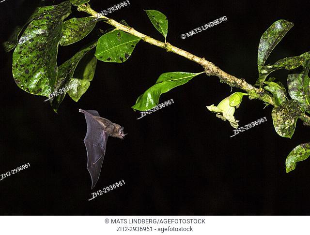 Geoffroy's tailless bat, Anoura geoffroyi, flying to a flower to suck nektar, in Costa Rica rainforest, Laguna del Lagarto, Boca Tapada, san Carlos, Costa Rica