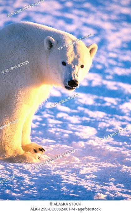 Polar Bear Standing @ Churchill Manitoba Canada