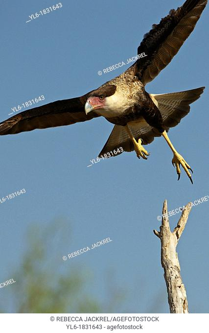 A crested caracara lifts off from a tree