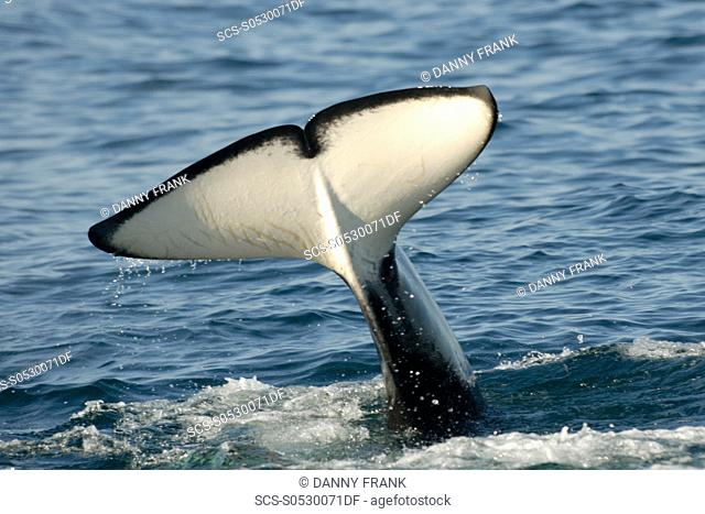 Killer whale, Orcinus orca, tail fluke,Monterey bay national marine sanctuary,california,usa,east pacific ocean