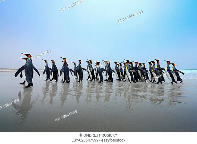 Group of King penguins, Aptenodytes patagonicus