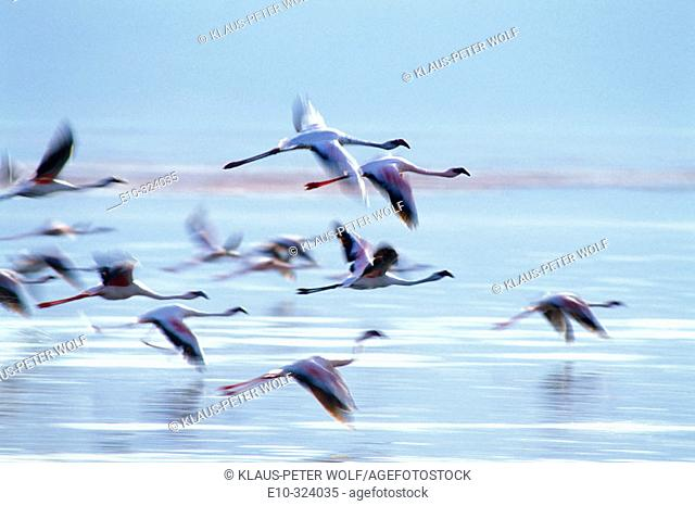 Lesser Flamingos (Phoenicopterus minor). Lake Bogoria. Kenya
