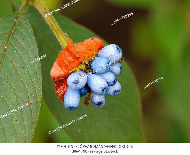 Psychotria elata,flower and fruits, Tortuguero National Park, Costa Rica