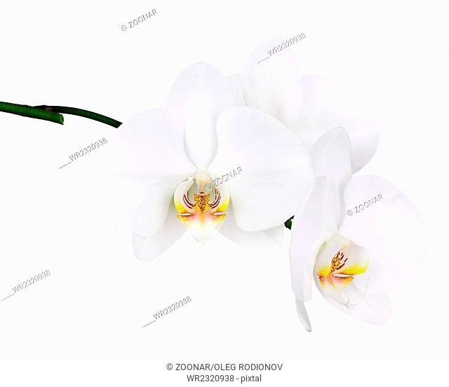 Five day old white orchid isolated on white background