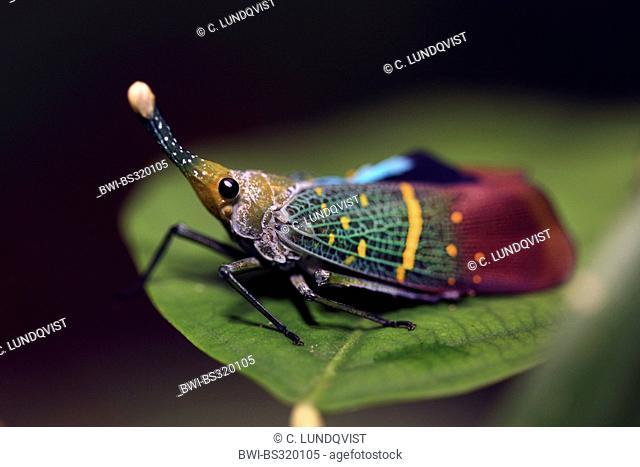 lanternflies, lantern flies, fulgorid planthoppers (Fulgora lampestris), sitting on a leaf, Malaysia, Sabah, Danum Valley