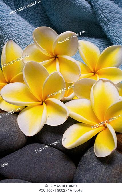 Spa elements, bright yellow plumerias with gray stones and a blue towel