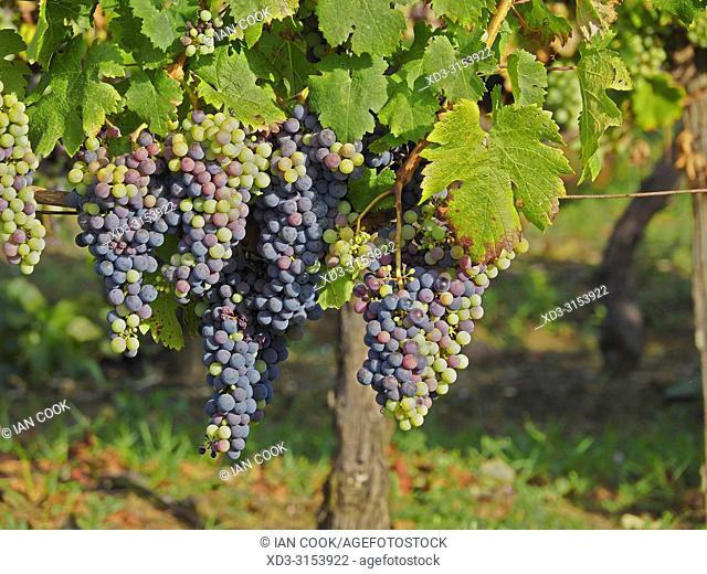 grapes in a vineyard ready to harvest, Lot-et-Garonne Department, Nouvelle-Aquitaine, France
