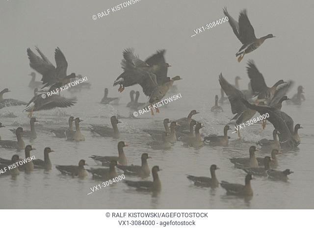 A flock of attentive nervous arctic White-fronted Geese ( Anser albifrons ) taking off from water on a misty winter morning, wildlife, Europe