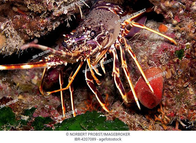 European spiny lobster (Palinurus elephas), Corfu, Ionian Islands, Ionian Sea, Mediterranean Sea, Greece