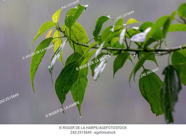 Wet leaves. Bwindi Impenetrable Forest. Uganda