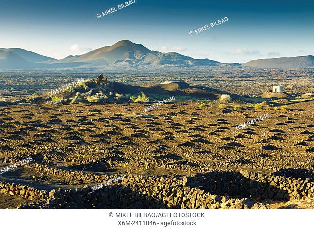 Vines growing in volcanic lapilli. La Geria region. Lanzarote, canary Islands, Spain, Europe
