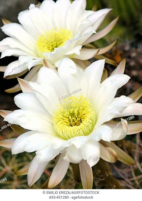 Cactus flowers (Echinopsis sp.)