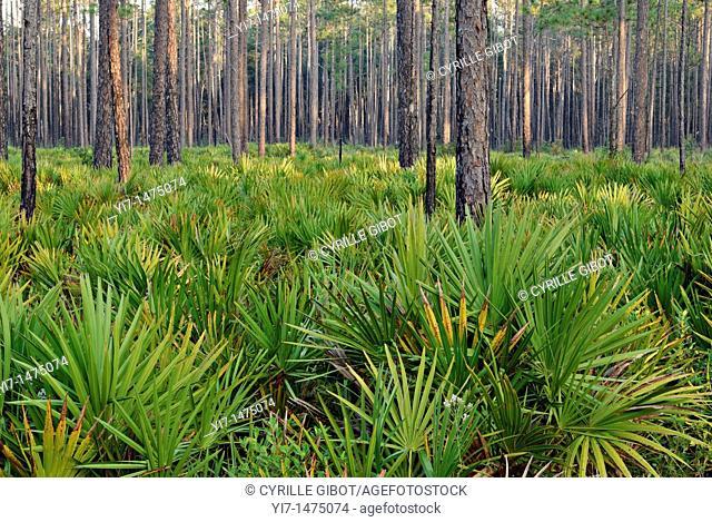 Forest with pine trees pinus palustris and saw palmetto plants serenoa repens, Okefenokee National Wildlife Refuge, Georgia, USA