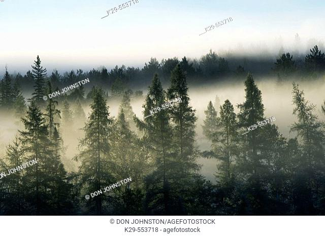Pines and spruces in morning mist. Lively, Ontario, Canada