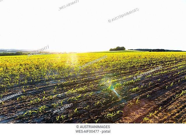 Austria, Innviertel, field against the sun