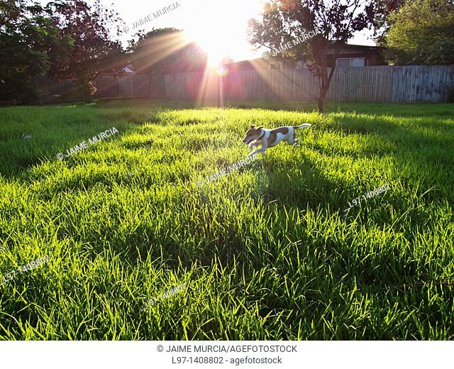 Dog jumping through long grass in park