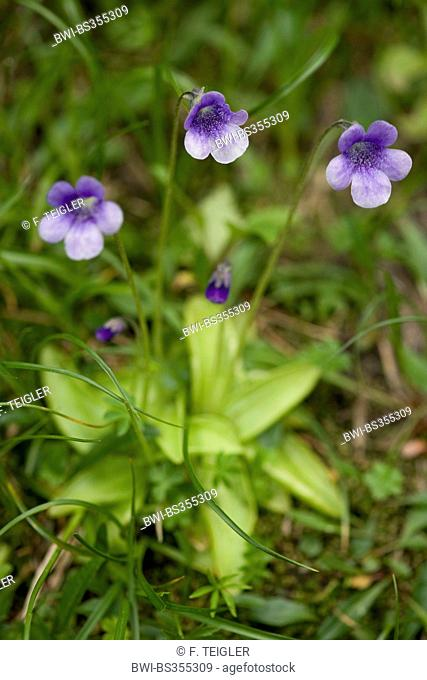 common butterwort (Pinguicula vulgaris), blooming, Switzerland, Bernese Oberland