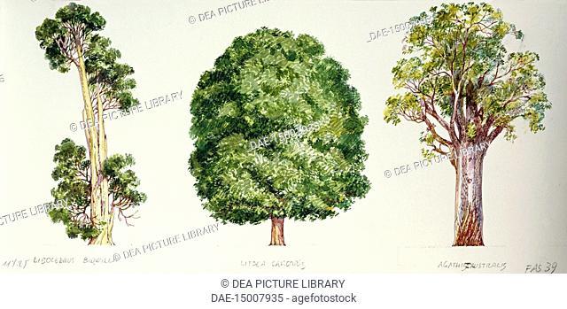 Botany - Trees - Pahautea (Libocedrus bidwillii), Mangeao (Litsea calicaris) and Kauri (Agathis australis), illustration