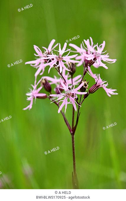 meadow campion, ragged-robin Lychnis flos-cuculi, Silene flos-cuculi, inflorescence, Germany, Baden-Wuerttemberg