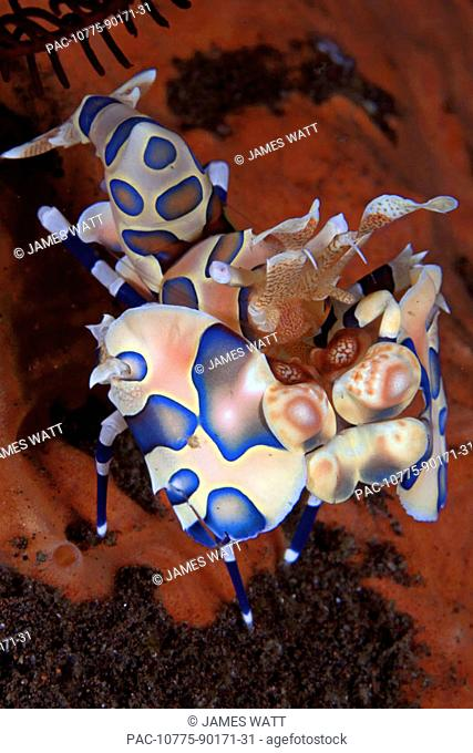 Indonesia, Bali, Tulumben, Harlequin shrimp (Stenopus pyronotu), blue variety