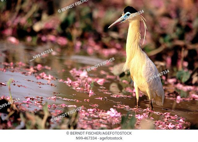 Capped heron (Pilherodius pileatus) standing in a water pond. Flowers of rose trumpet tree. Pantanal near Pocone. Mato Grosso. Brazil