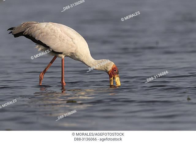 Africa, Southern Africa, Bostwana, Chobe i National Park, Chobe river, Yellow-billed Stork (Mycteria ibis)