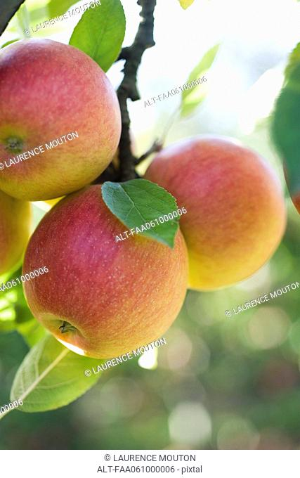 Apples ripening on branch