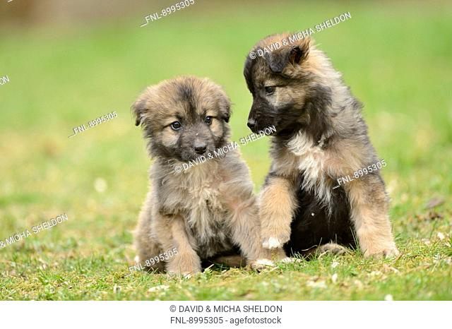 Two mixed breed dog puppies in a garden