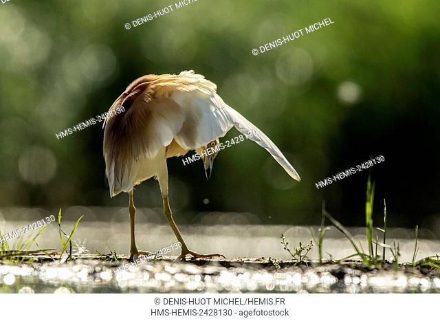 Hungary, Csongrad, Kiskunsagi National Park, Pusztaszer, Squacco Heron (Ardeola ralloides), fishing