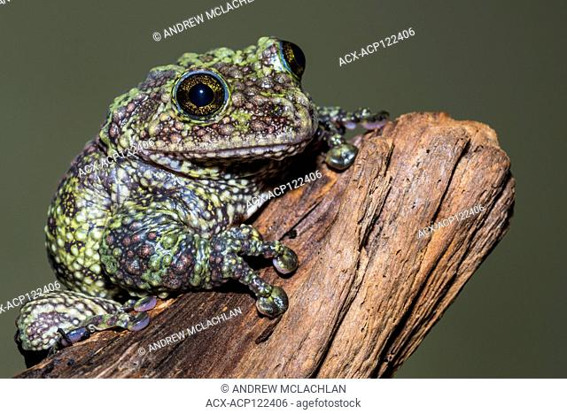 Vietnamese Moss Frog (theloderma corticale) - captive. Endemic to Vietnam