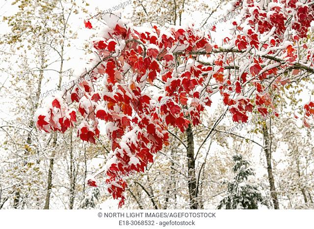 USA, WA, Bellingham, Lake Samish. Trees with bright red fall color on the leaves covered in snow