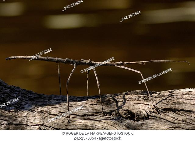 Stick insect (Phasmid sp. ). Haina Kalahari Lodge. Botswana