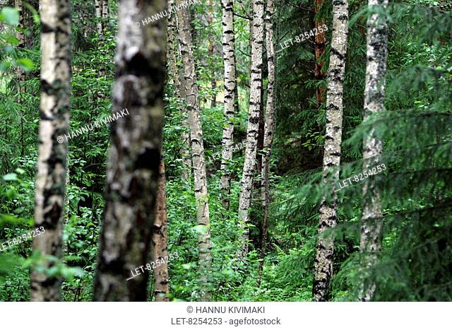 A birch grove in Lohja, Finland