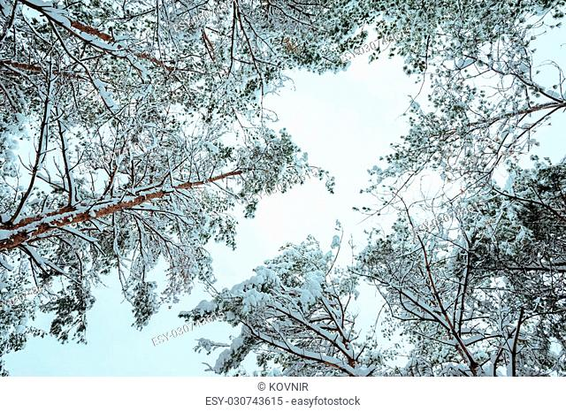 Snow-covered tree branch at sunset. Winter background. Christmas and New Year Tree