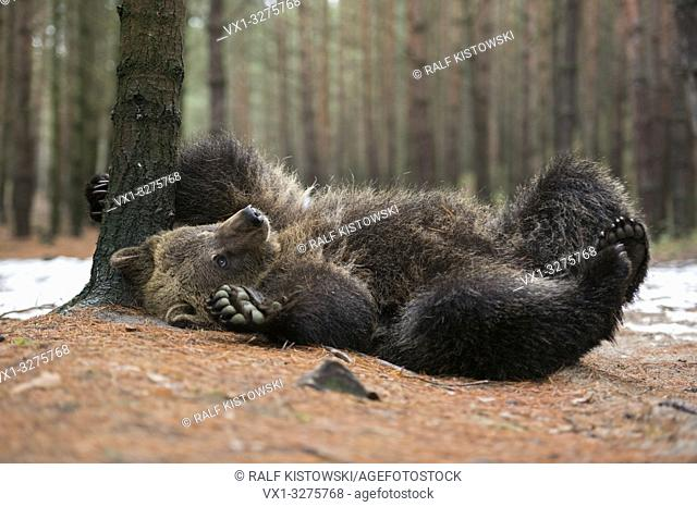 European Brown Bear ( Ursus arctos ), playful cub, lying, rolling on its back, scratching, itching on the ground, looks cute and funny, Europe