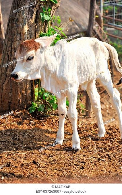 The American Brahman breed has a distinct large boil over the top of the shoulder and neck, and a loose flap of skin (dewlap) hanging from the neck