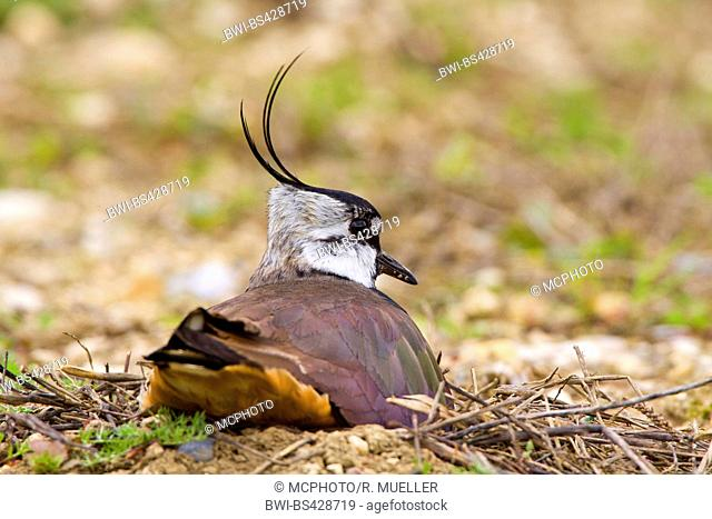 northern lapwing (Vanellus vanellus), breeding on the ground, rear view, Germany