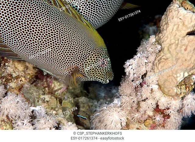stellate rabbitfish