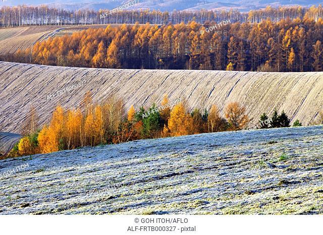 Larch trees and fields in Biei, Hokkaido