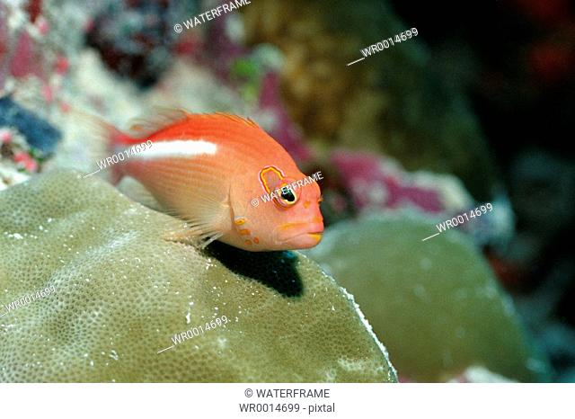 Arc-eye Hawkfish, Paracirrhites arcatus, Pacific, Micronesia, Palau