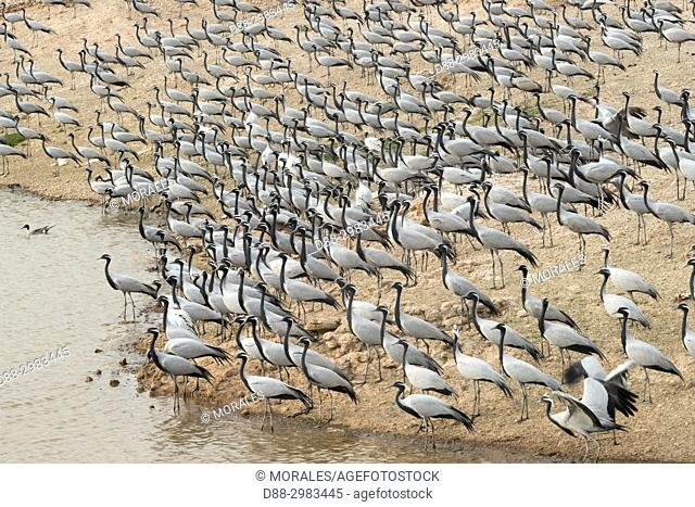 Asia, India, Rajasthan, Thar desert, Kichan, village of the Marwari Jain communuty, have been feeding every winter since 1970 the Demoiselle cranes (Grus virgo)...