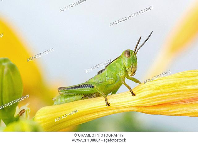 Young Two-striped Grasshopper, Melanoplus bivittatus, on daylily, Warman, Saskatchewan, Canada