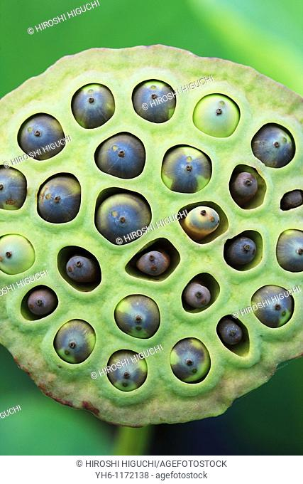 Lotus seed pod with seeds, Japan, Fukushima Prefecture, Fukushima