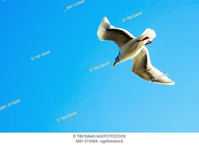 Glaucous Gull (Larus hyperboreus) in flight. Sidney, British Columbia, 17 Canada February 2006. Canada