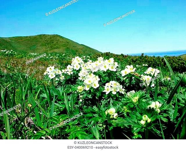 2007 on June, 26th, Russia, vegetation and island Urup flowers